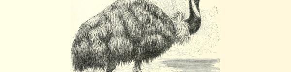 Emu sketch